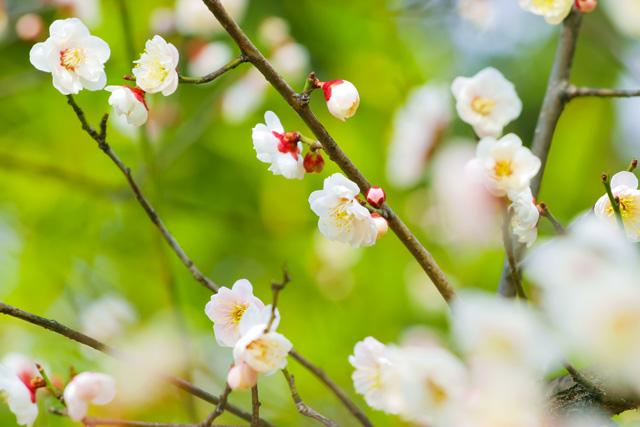 plum-blossom_beiz.jp_S08435