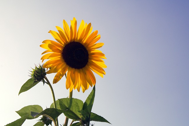 sunflower-1591509_640
